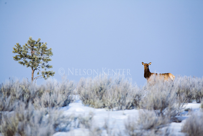 A lone cow elk and a single tree in a sage brush field in winter