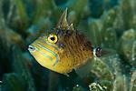 Balistes vetula, Queen triggerfish, juvenile, Statia