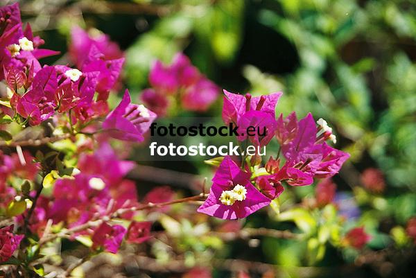 Bougainvillea Glabra<br /> <br /> 1840 x 1232 px<br /> 150 dpi: 31,16 x 20,86 cm<br /> 300 dpi: 15,58 x 10,43 cm<br /> Original: 35 mm