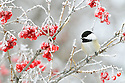 00175-012.04 Black-capped Chickadee is perched in a high bush cranberry shrub that is covered in rime frost.  Hoar, cold, winter, red, fruit, berries.