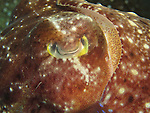 Kenting, Taiwan -- Close -up of a cuttlefish eye.<br /> <br /> Why the eyes always seem closed on any cuttlefish picture is beyond me!