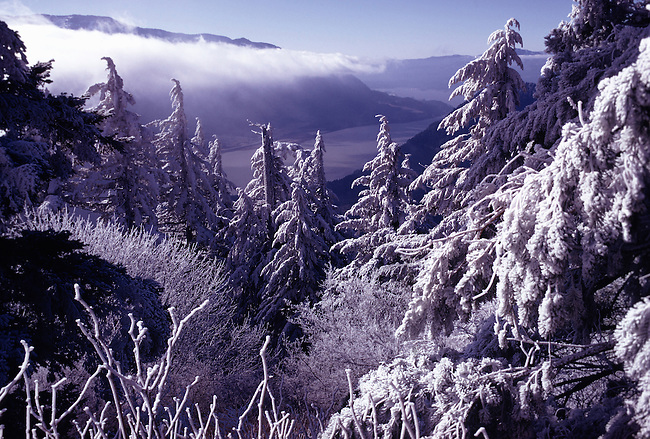 Snow Laden Hemlocks in Winter, Dog Mountain, Columbia river Gorge, Washington