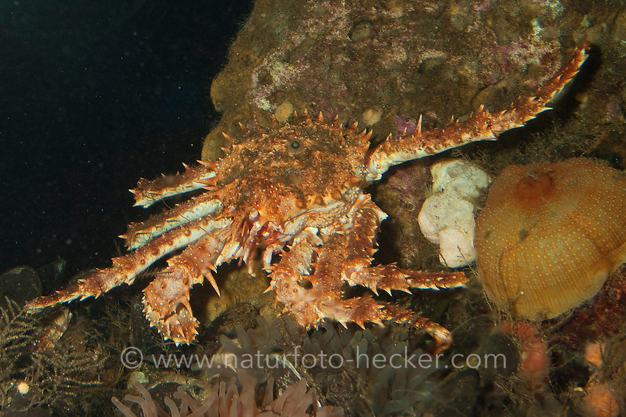 Große Seespinne, Nördliche Steinkrabbe, Lithodes maja, northern stone crab, Norway crab, devil's crab, stone king crab