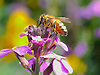 Honey Bee collecting pollen from a Wallflower