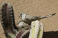 Inca doves, Columbina inca, building nest in cactus. Arizona-Sonora Desert Museum, Tucson, Arizona