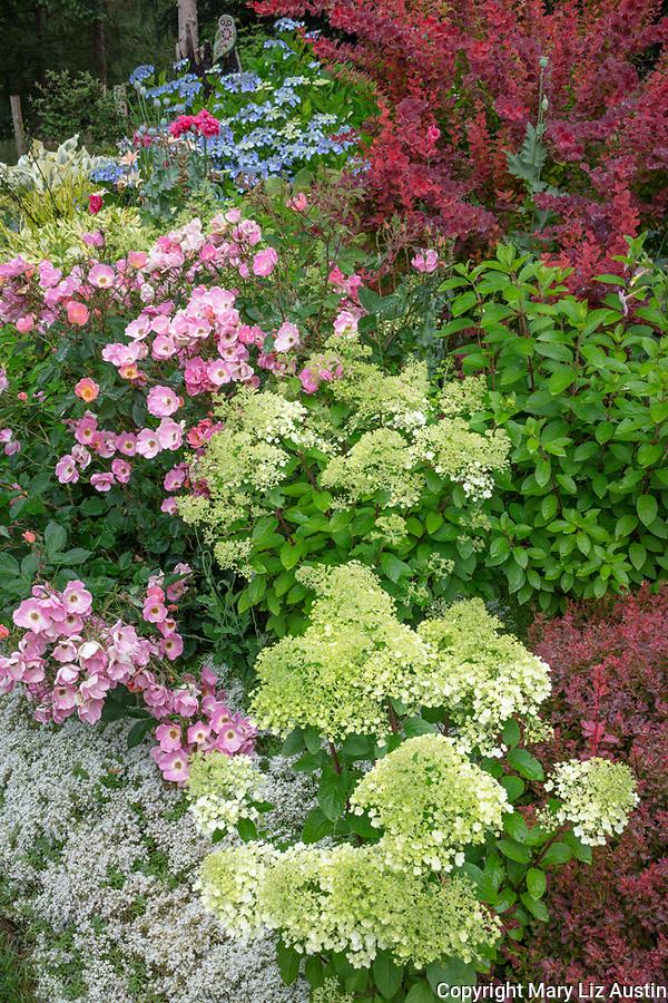 Vashon-Maury Island, WA: Summer perennial garden featuring barberry 'Orange Rocket', hydrangea 'Bobo', Rosa 'Radcor', and Lacecap Hydrangea