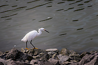 A lone Snowy egret explores the rocky banks of the San Leandro Marina looking for food.