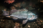 black sea bass adult swimming over deep boulder reef