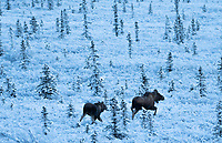 A cow and calf moose move through fresh snow near Healy, Alaska.