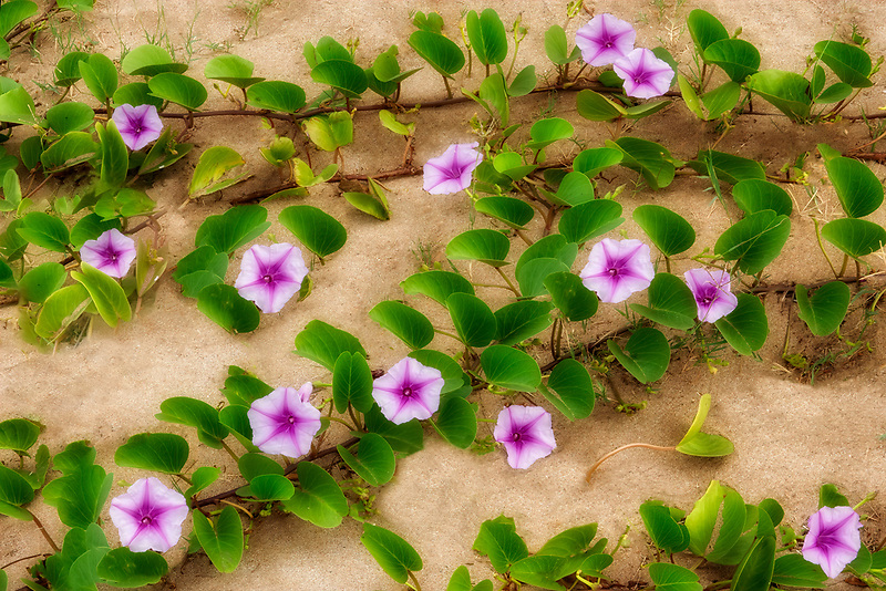 Morning Glory flowers on sand dune. Maui, Hawaii