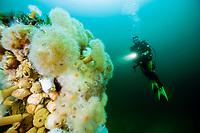 scuba diver with aggregating anemone, Metridium senile, Stromsholmen, Vevang, Norway, Atlantic Ocean