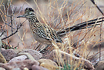 Greater Roadrunner standing among grasses and rocks.