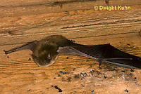 MA20-616z  Little Brown Bats, Myotis lucifugus