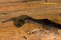 MA20-616z  Little Brown Bats, Myotis lucifugus