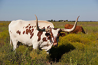 Texas Longhorns grazing in the Texas Hill Country