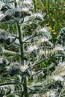 Natternkopf (Echium), Sizilien, Italien