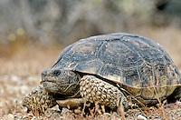 Desert Tortoise in Mohave Desert near Kelso Dunes at Mojave National Preserve, California, AGPix_0617.
