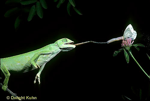 CH04-001z  African Chameleon - catching butterfly prey with long tongue - Chameleo senegalensis