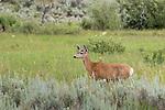 Mule deer in Yellowstone National Park
