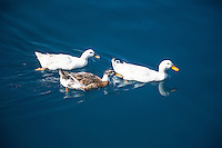 Mallard Ducks in the Harbour of Kas, Turkey