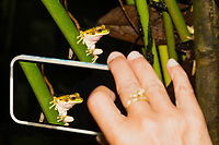 Masked Treefrog, Smilisca phaeota, poses for a smartphone photo near Arenal Volcano National Park, La Fortuna, Costa Rica. Also called the New Granada Cross-banded Treefrog. This is a composite image; the smartphone photo is simulated.