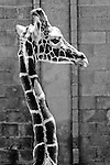 2007 Copyright  Whitney Lauren Robinson Stubbart / Lambi Arts Black & White Photography