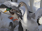 While I was photographing the 2000 trumpeter swans that gather in Monticello MN I see a mallard that hopes he can find space for landing. (he did!)