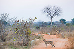 Cheetah (Acinonyx jubatus) twenty-one month old sub-adult female in miombo woodland, Kafue National Park, Zambia