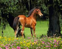 Arabian foal in field of wildflowers.