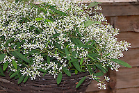 Euphorbia Breathless White aka Balbrewite in flowers