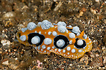 Nudibranch (Phyllidia ocellata)
