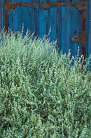 Gray foliage shrub, Poliomintha incana, Frosted mint, Hoary rosemary-mint, Mintbush in New Mexico garden with blue door, design by Judith Phillips