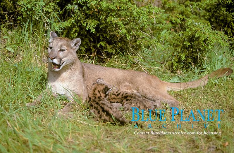 Puma (Puma concolor), two cubs suckling