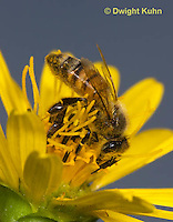 1B01-519z  Honeybee at flower collecting pollen and nectar, Apis mellifera