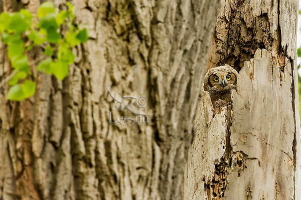 Young Great Horned Owlet (Bubo virginianus) watches from nest in old tree snag.  Great Lakes Region. May