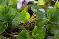 Kaisermantel, Raupe frisst an Veilchen, Silberstrich, Argynnis paphia, Silver-washed fritillary, caterpillar, Le Tabac d'Espagne, Edelfalter, Nymphalidae