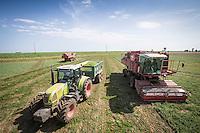 Harvesting vining peas - Lincolnshire