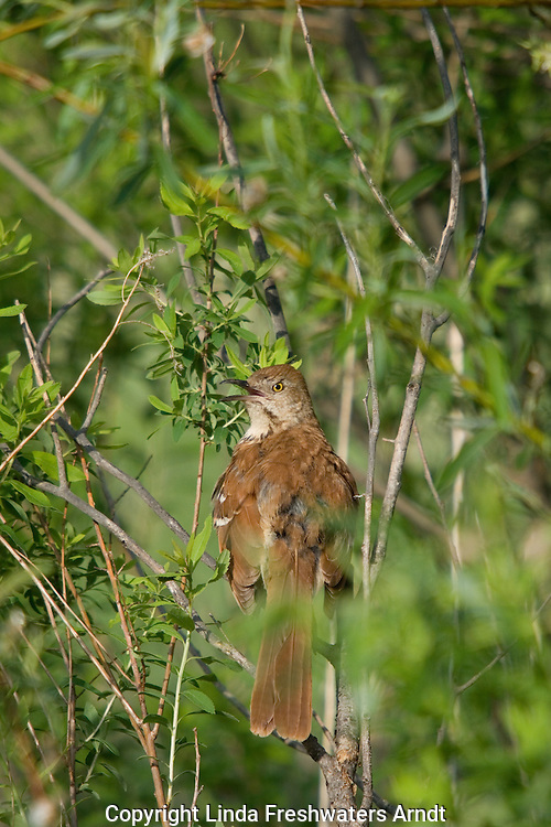 Brown thrasher (Toxostoma rufum) perched in the brush