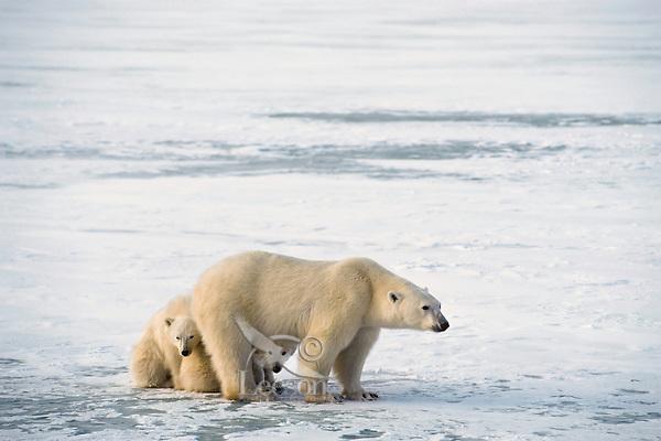 Polar bear (Ursus maritimus) female (sow) being protective of cubs, Hudson Bay, Canada. November.