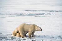 Polar bear (Ursus maritimus) female (sow) being protective of cubs, Hudson Bay, Canada. November.