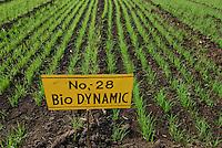 Asien Suedasien Indien Madhya Pradesh , bioRe Projekt fuer biodynamischen Anbau von Baumwolle in Kasrawad , Versuchsfarm Fruchtfolge Weizen -  Landwirtschaft bio-dynamischer Anbau biologischer Bio Oekologie oekologischer xagndaz | .South asia India Madhya Pradesh , organic cotton project bioRe in Kasrawad  , trial farm crop rotation wheat