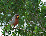Texas, Rio Grande Valley, Female Cardinal (Cardinalis virginianus)