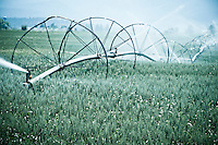 Montana wheat field in the Flathead Valley near St. Ignatius, Montana.