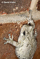 0202-0913  Eastern Gray Treefrog on Brick Wall of House at Night Hunting for Insects (Grey Tree Frog), Hyla versicolor  © David Kuhn/Dwight Kuhn Photography