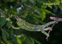 CH36-517z  Male Jackson's Chameleon or Three-horned Chameleon using tail and feet to climb, Chamaeleo jacksonii