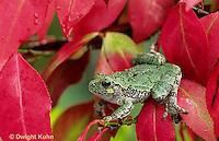 FR10-056z  Gray Tree Frog -  Hyla versicolor
