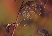 Wenn sich der Nebel von dem Boden erhoben hat, hinterlaesst er am fruehen Morgen seien Spuren an Blaettern und Spinnennetzen. Die kleinen Troepfchen schimmern besonders. Dank der herbstlichen Farben des Blattkleides. Gesehen am Brodauer Zinken, am Werbeliner See, wo einst das gleichnamige Oertchen zu finden war.      Foto: Alexander Bley