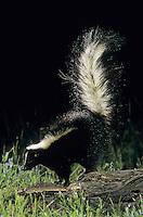 Striped Skunk, Mephitis mephitis, adult in defensive pose, Welder Wildlife Refuge, Sinton, Texas, USA