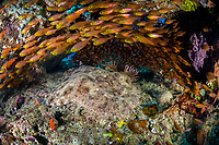 Golden sweepers, Parapriacanthus ransonneti, surround a Tasselled Wobbegong, Eucrossorhinus dasypogon, in a small cave. Raja Ampat, Papua, Indonesia, Pacific Ocean