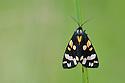 Scarlet Tiger (Callimorpha dominula) Painswick Beacon, Gloucestershire. July.